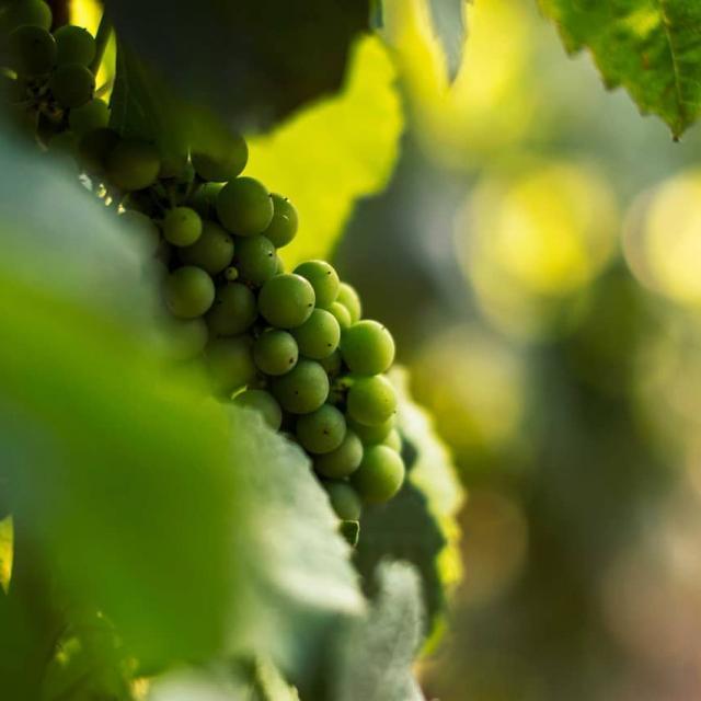 Instagram #auxerroistourisme-raisin-grappe-vignoble-Auxerrois
